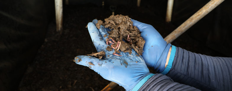 A man wearing gloves holds a handful of worms convert into manure into rich soil