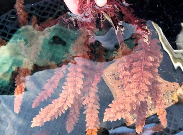 Photo of Asparagosis red algae growing in tanks