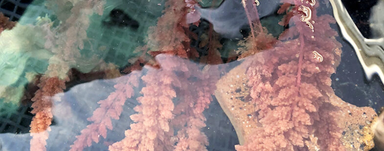 Photo of Asparagosis red algae growing in tanks