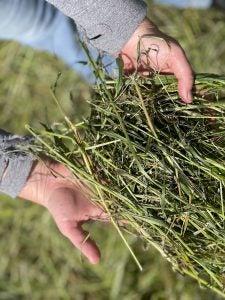 A farmer holds a handful of grass