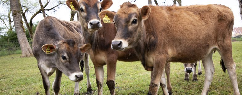 Young dairy cows in a silvopasture