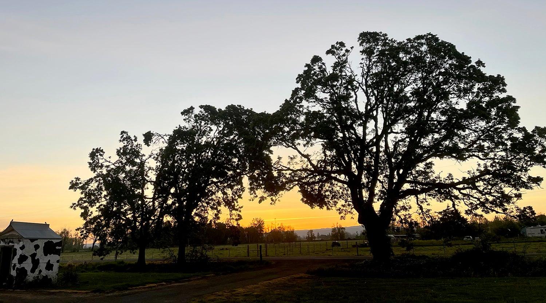 Large trees on a farm at sunrise