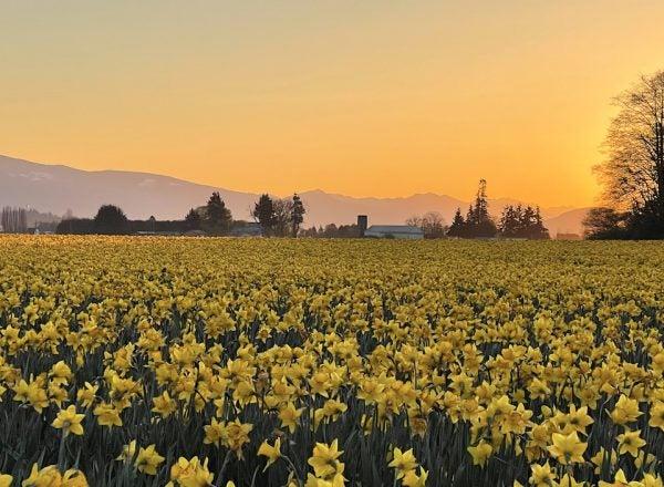 Sunrise image of a field full of daffodils