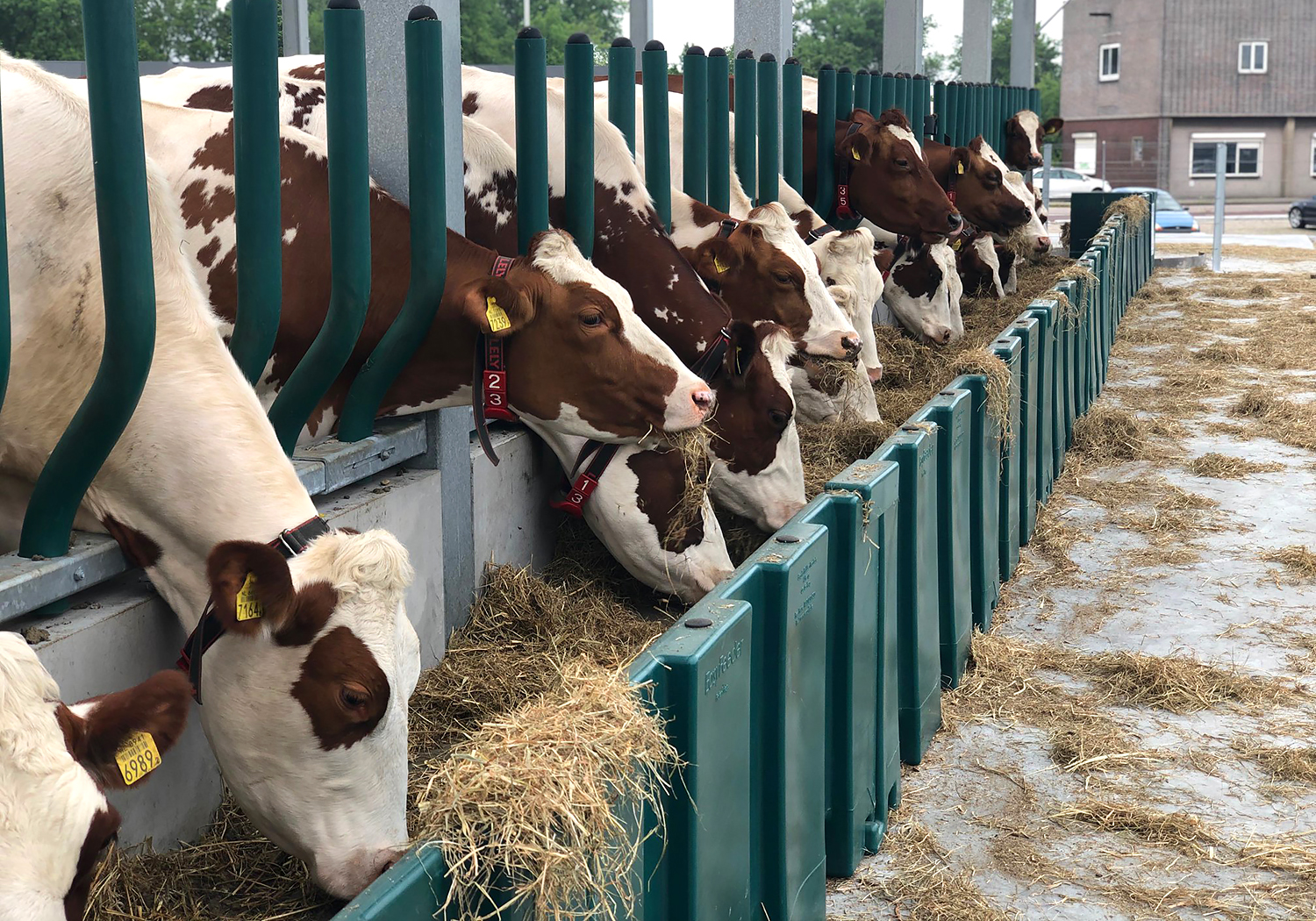 Several brown and white cows eating