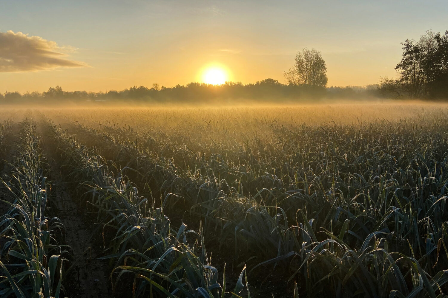 Field of crops in partial light as sun hovers half way on horizon with mist rising in far distance