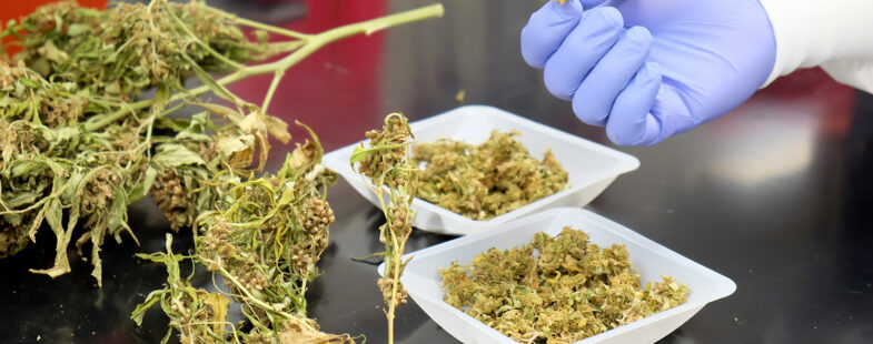 Close up view of hemp buds in a laboratory