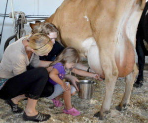 Parents help their daughter milk a cow
