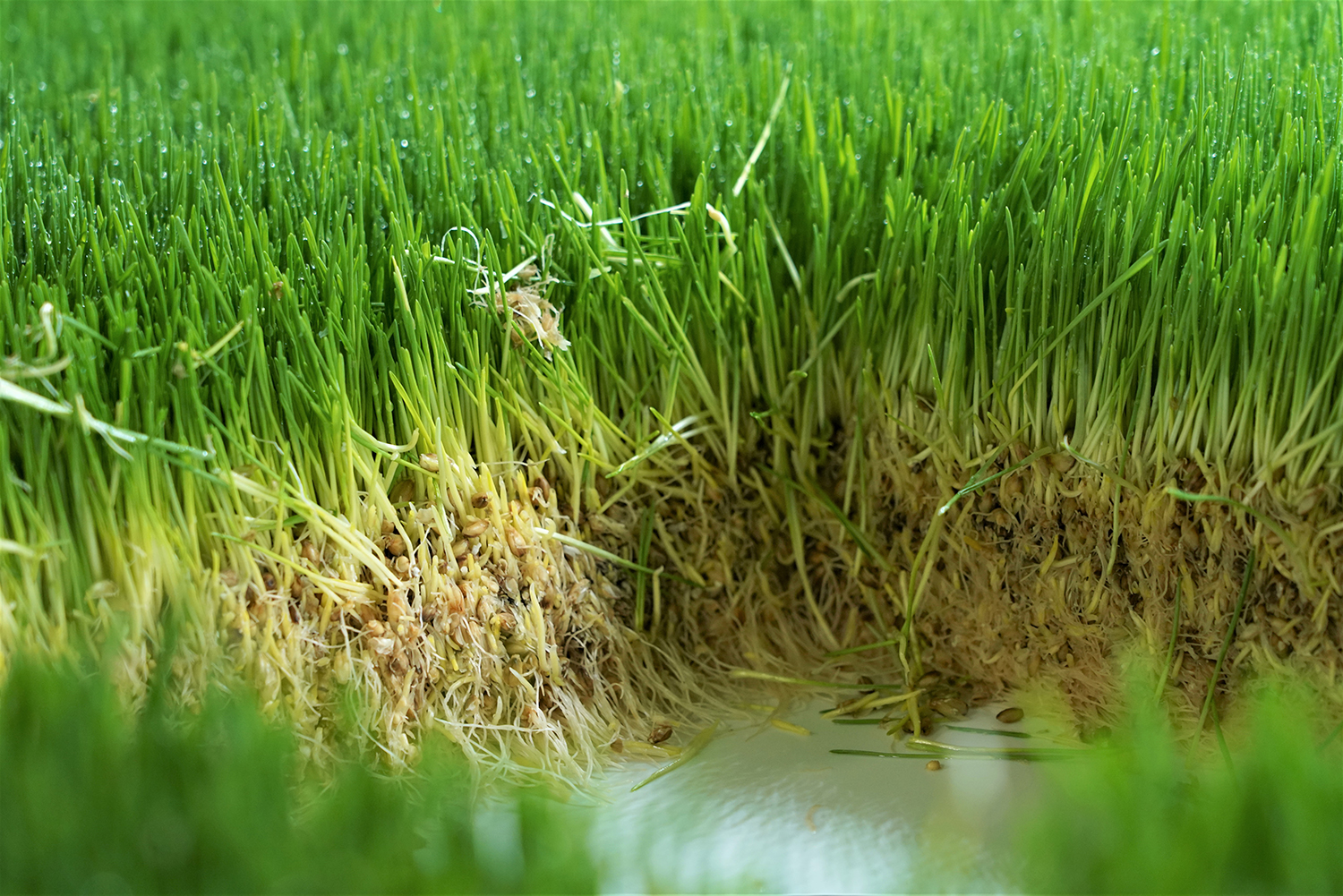Closeup image of hydroponically-grown fodder for livestock