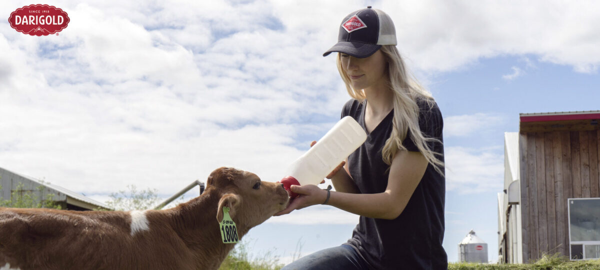 Woman wearing baseball cap feeds a calf outside on the farm
