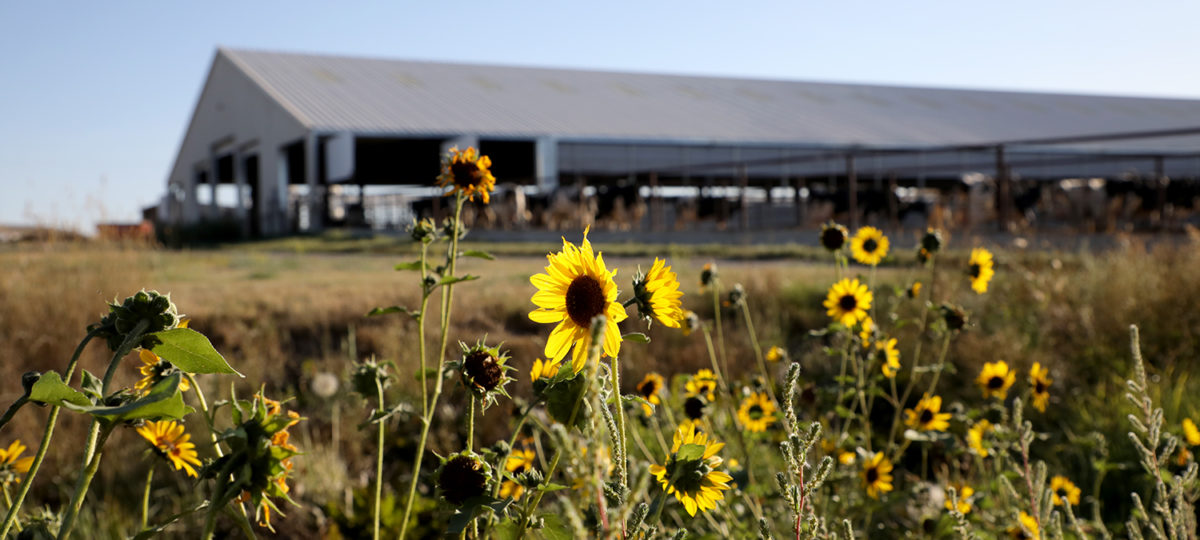 Black eyed Susans with a barn in the background