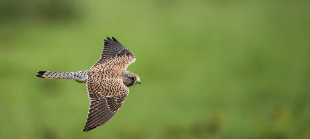 Stock photo of bird of prey flying against green background