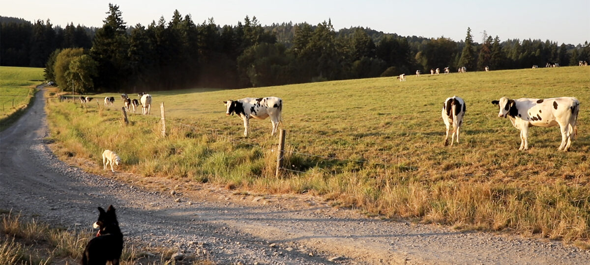 Dog surveys cows from a road across from a pasture