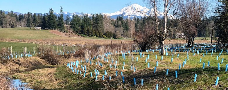 Salmon Habitat Restoration Site with Mt Baker in the Background