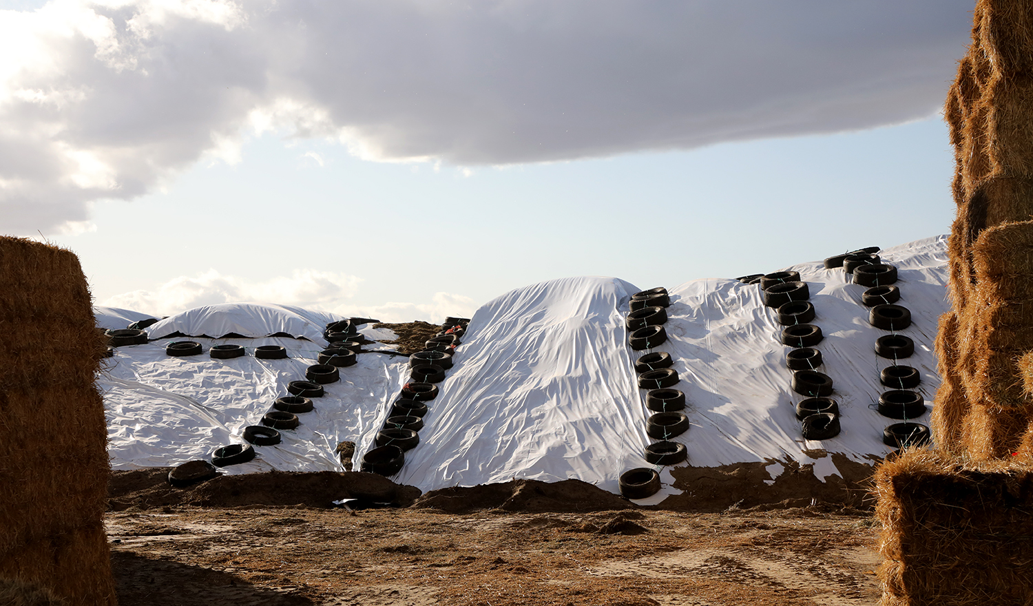 A silage pile covered in white plastic and recycled tires