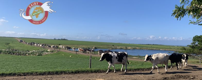 Cows walking in a row in a South African field