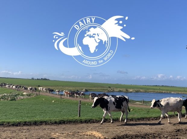 A line of cows walking in South Africa with a white globe badge in the venter