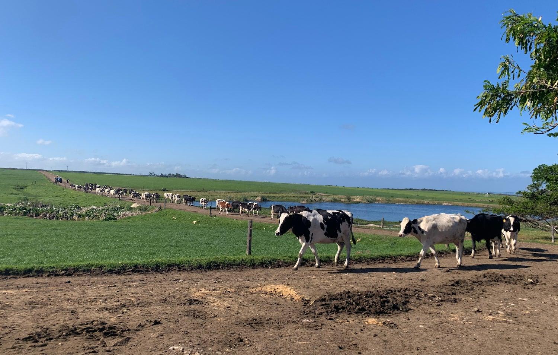 A long line of cows walking against blue skies