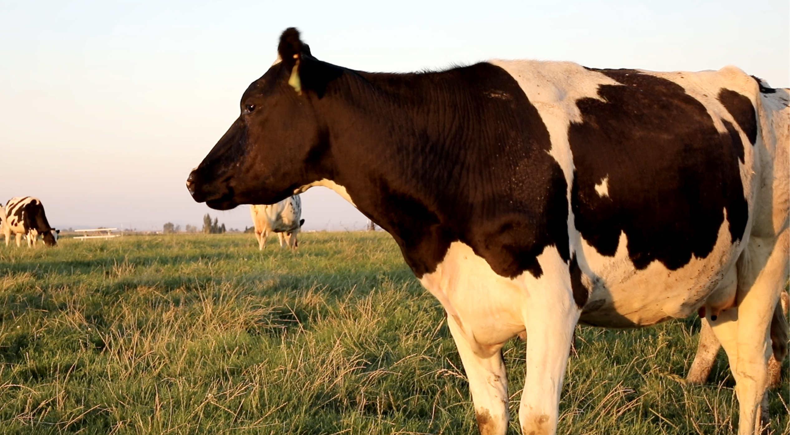 Healthy dairy cow at sunset