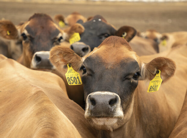 A herd of brown Jersey cows huddle together