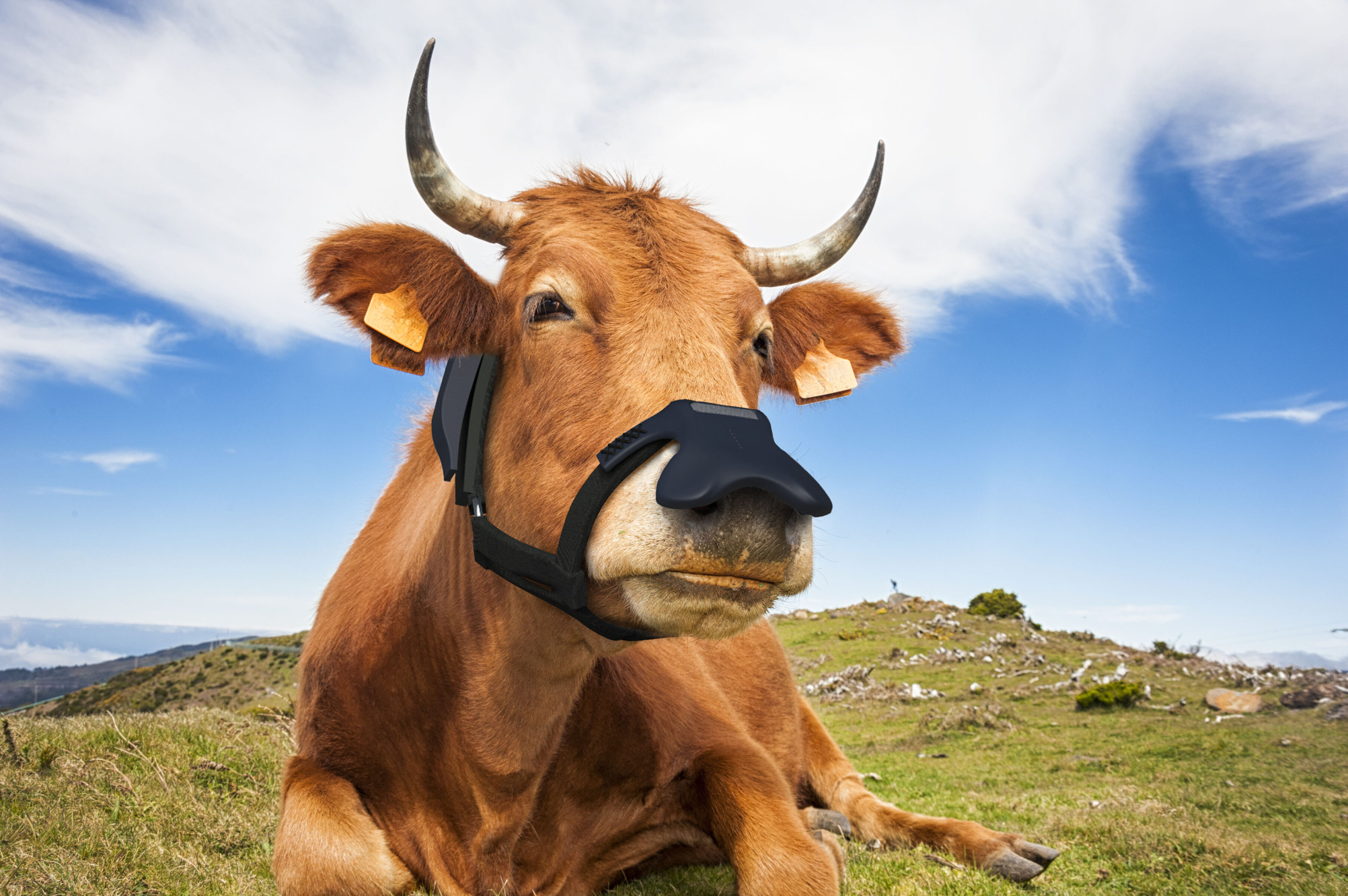 Brown cow wearing a black face mask