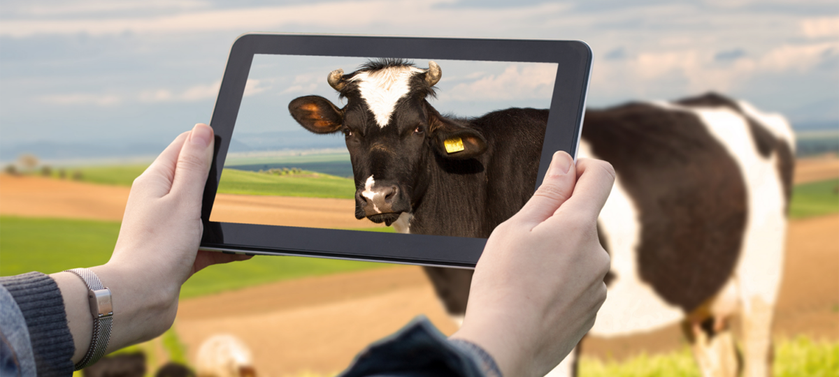 A photo go a woman taking a photo of a cow with an iPad
