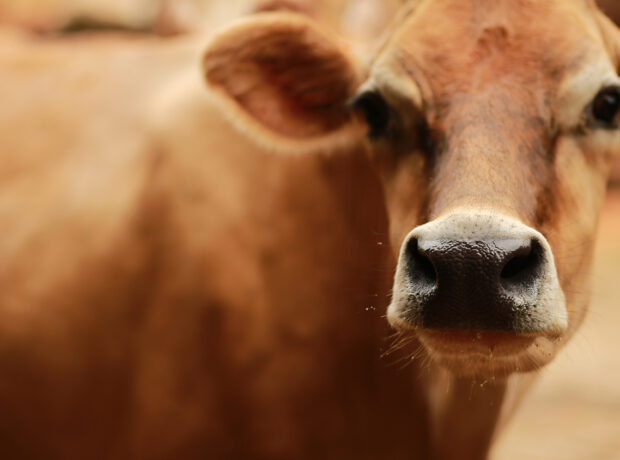 Close up image of a brown Jersey cow