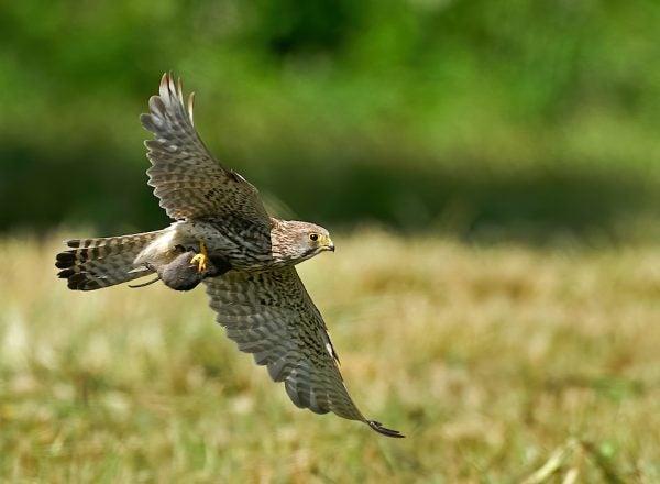 A common kestrel carrying its prey