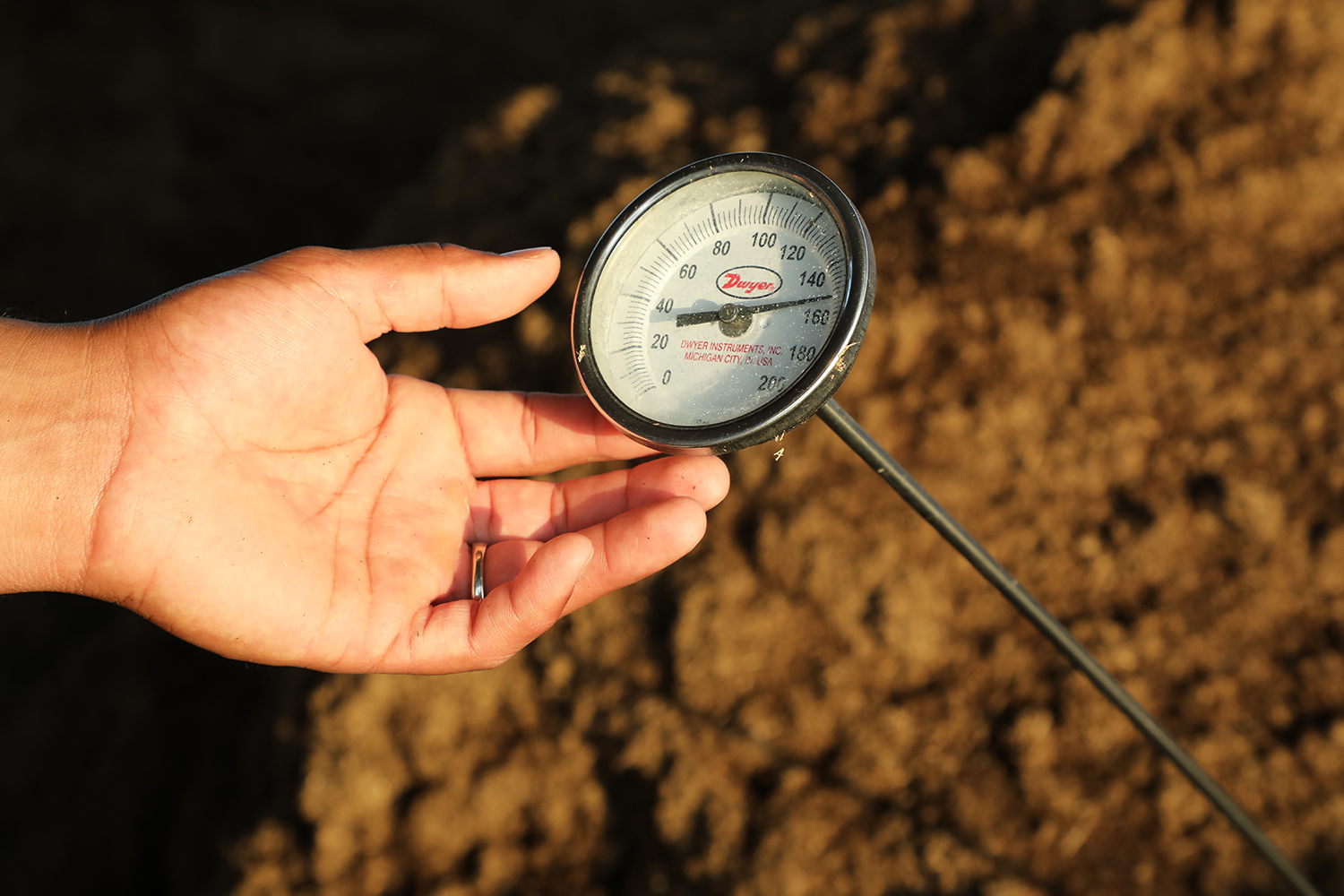 Measuring the temperature of a pile of cow manure being converted into compost