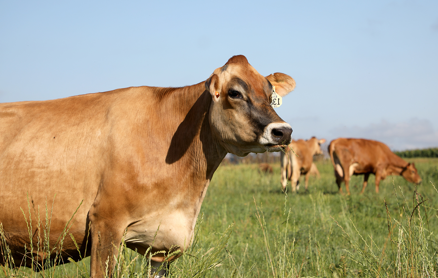 A Jersey Cow eating grass in a field