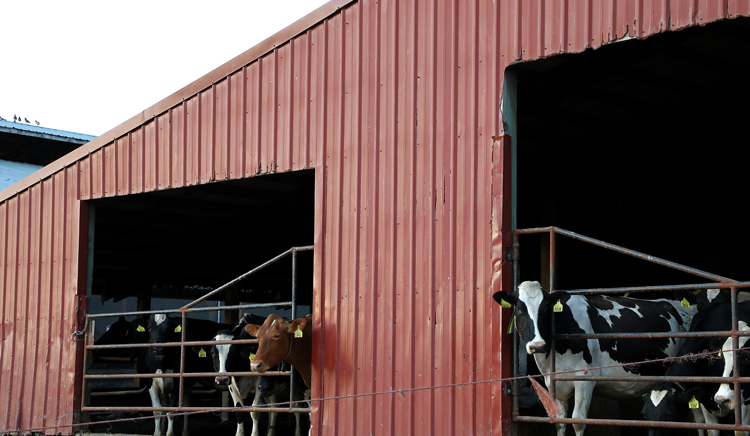 New bill would give dairy workers a path to legal status 3