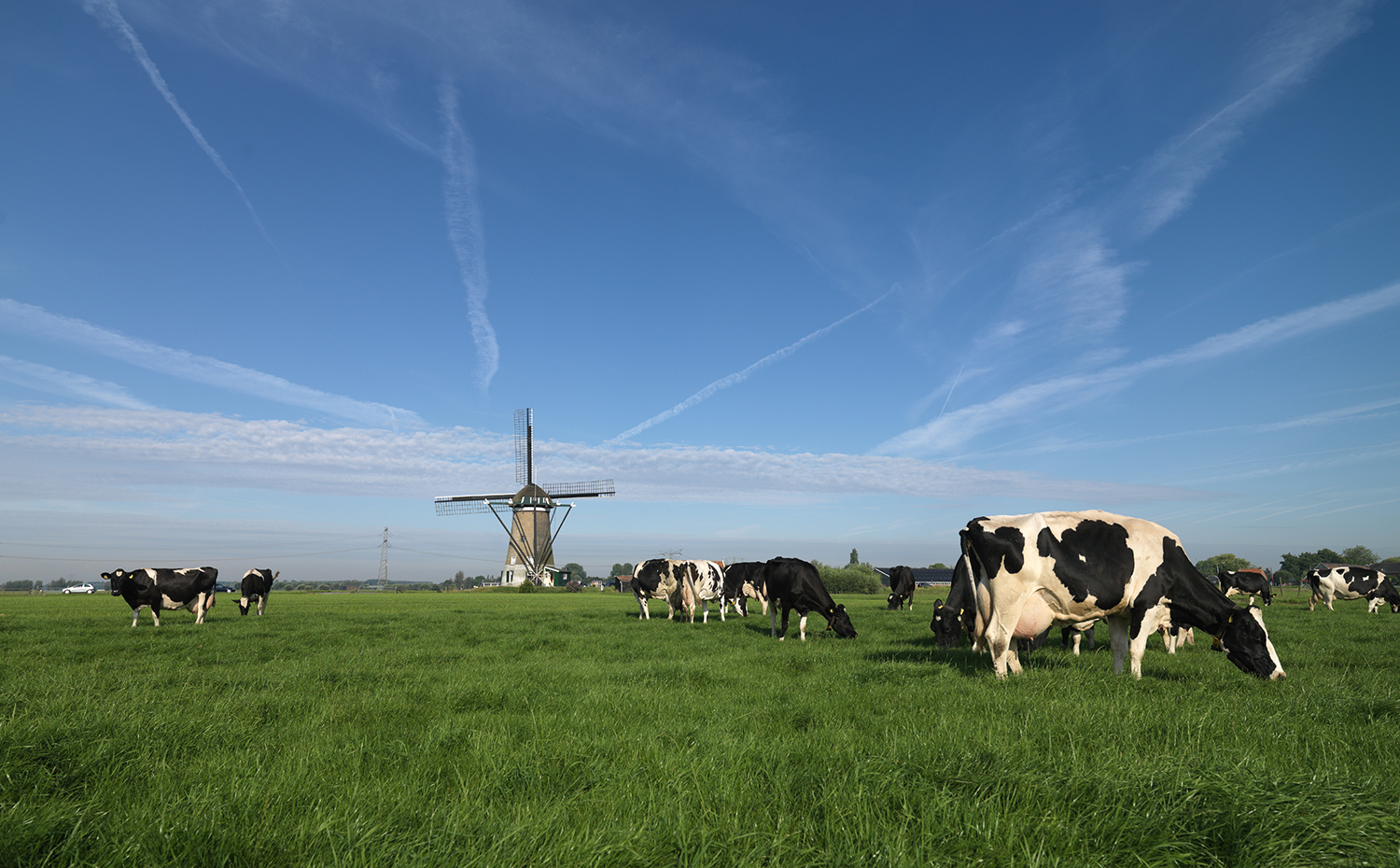 A field full of cows with a Dutch windmill in the background