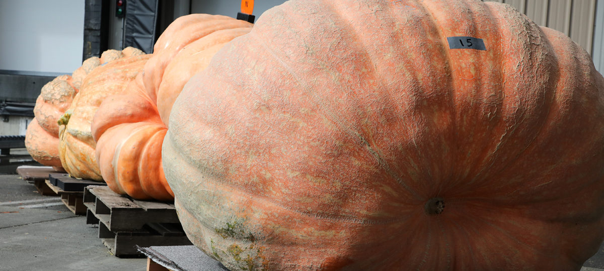 Giant pumpkins on shipping pallets