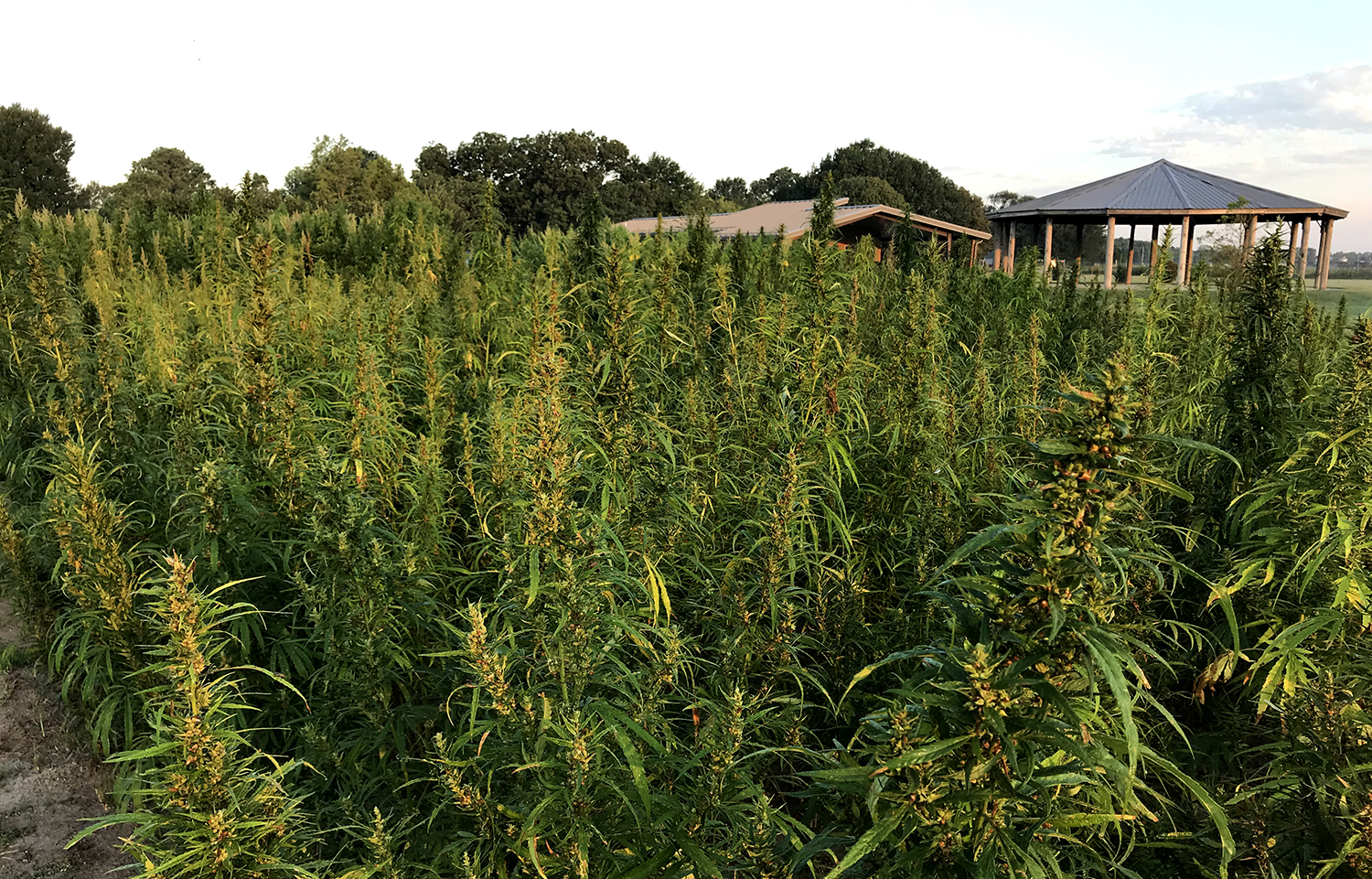 A field of hemp being grown for research
