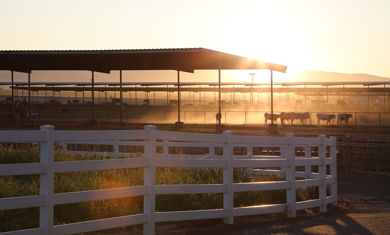 A herd of cows in the distance at sunrise