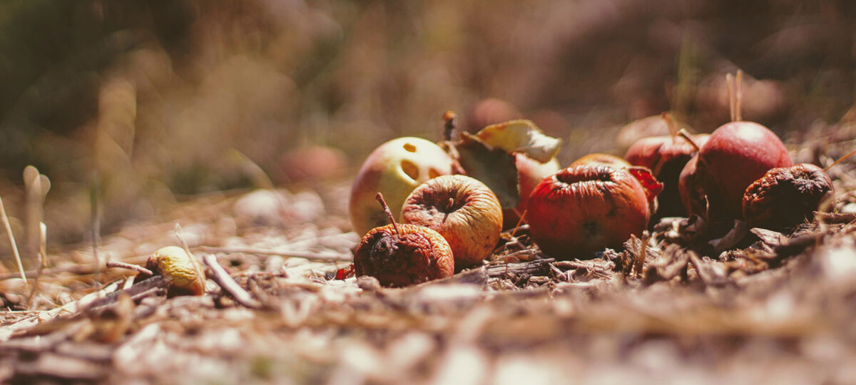 Rotting fruit lying in a field