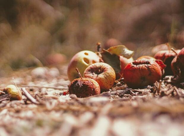 Rotting fruit lying in a field