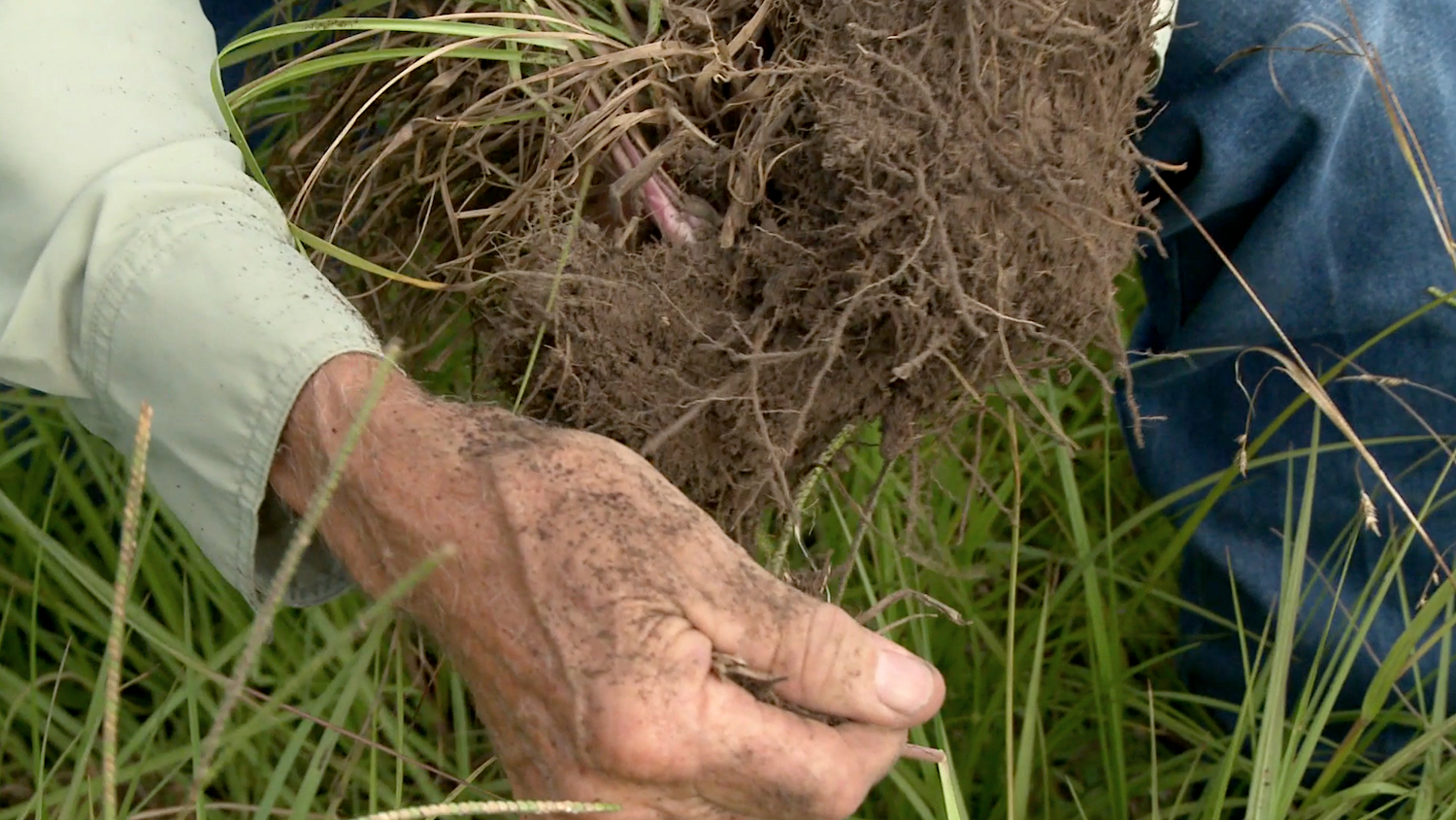 A man pulls a handful of grass out of the ground to show the soil