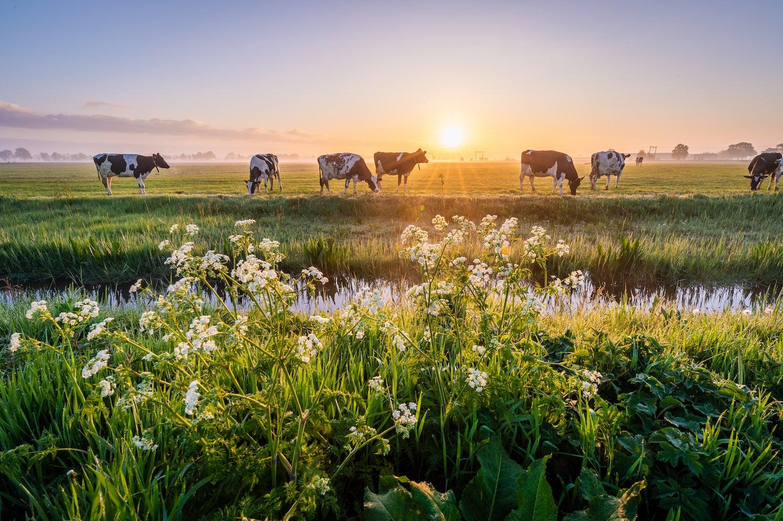 Beautiful sunrise shot of dairy cows at pasture